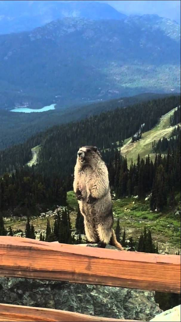 In case you've ever wondered what does a marmot sounds like.