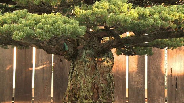 Jack Sustic, curator at the National Bonsai Museum within the Washington D.C. arboretum, is a soft-spoken master of his craft.