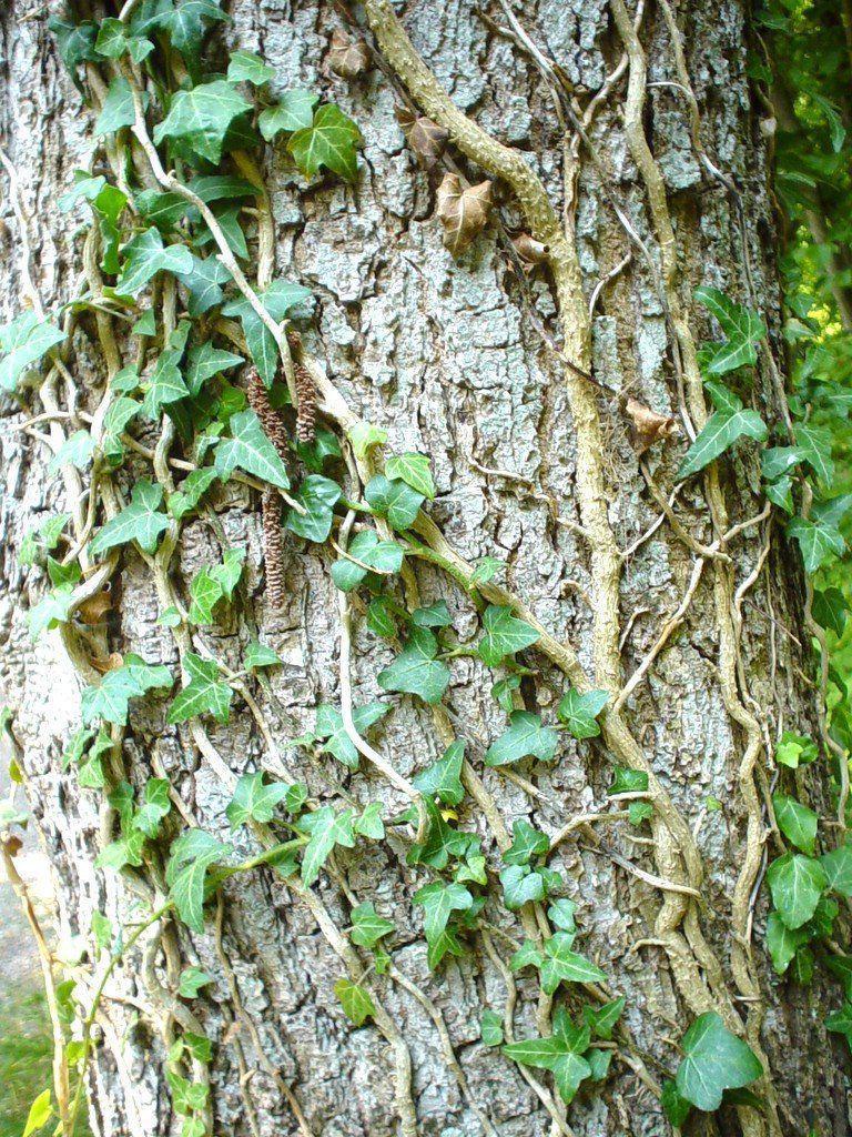 ivy, tree, climb