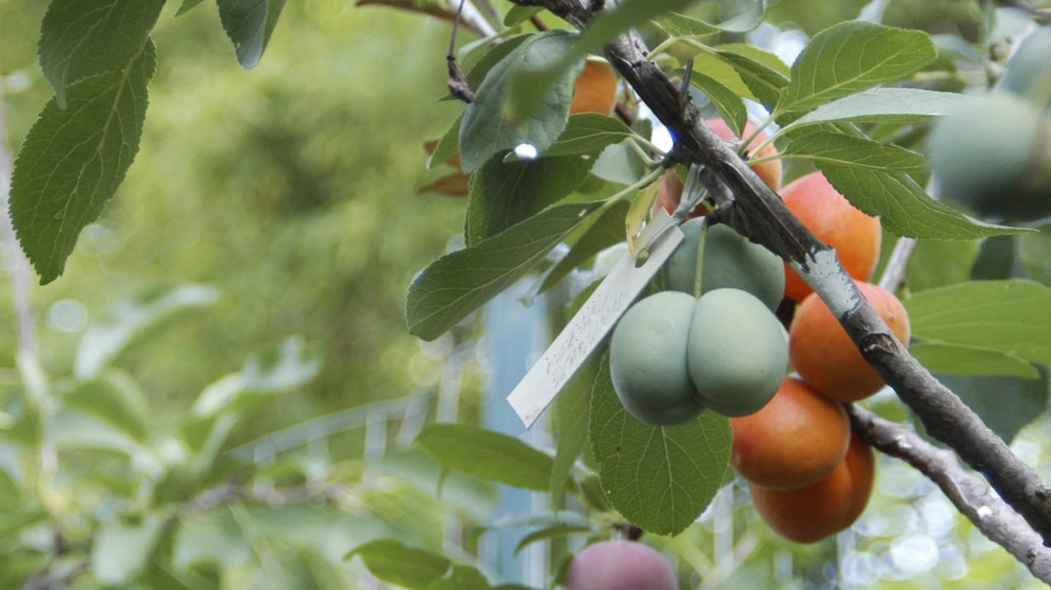 Each unique Tree of 40 Fruit grows over forty different types of stone fruit including peaches, plums, apricots, nectarines, cherries, ...