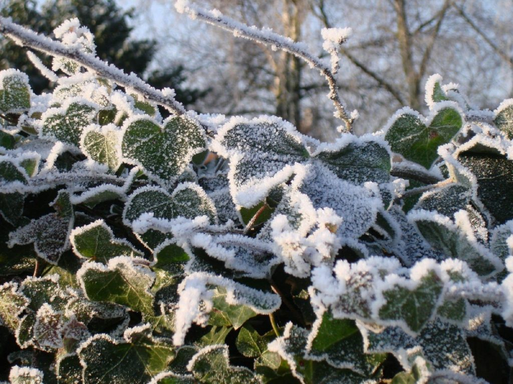 Ivy, winter, freeze