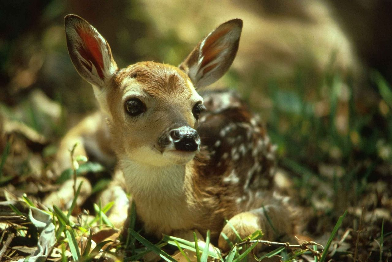 Darius witnessed the birth of two baby deer in his backyard. He soon realized one of them was injured and ...
