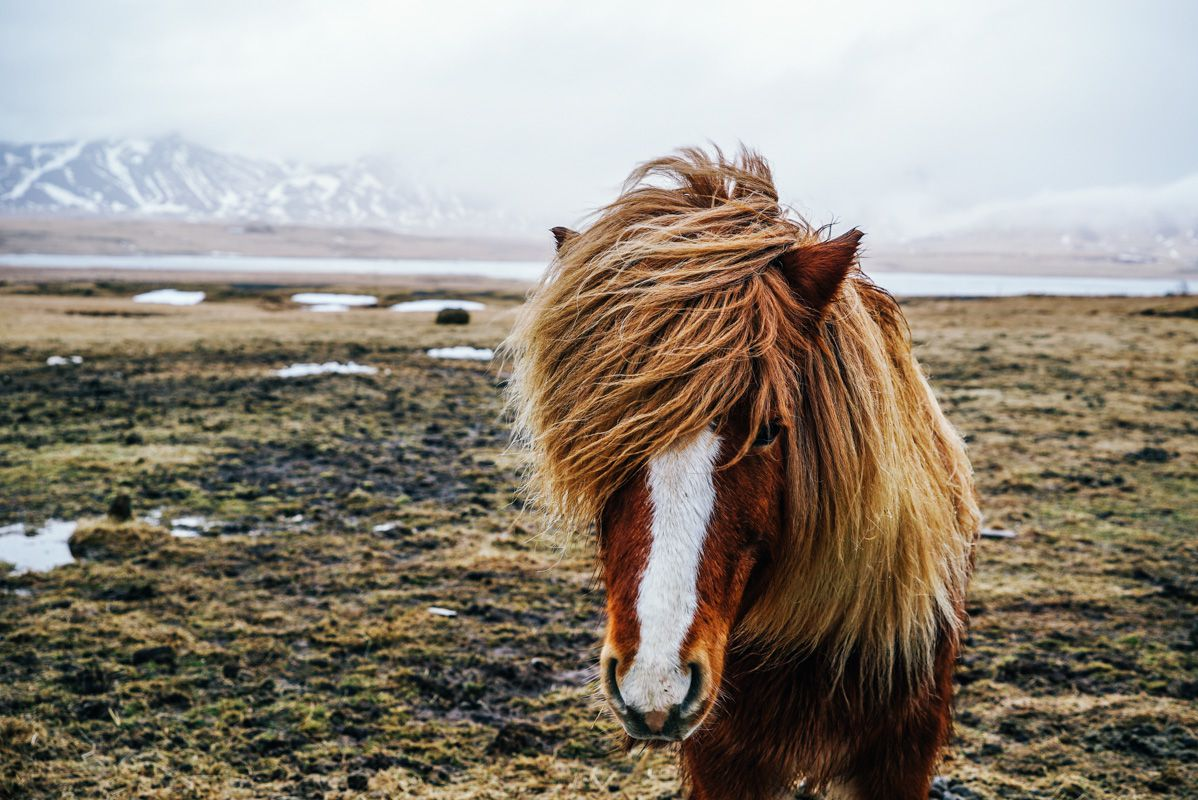 Icelandic horse. | © Hunter Lawrence