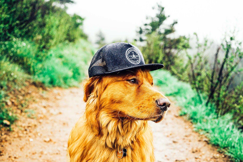 Golden retriever Aspen posing