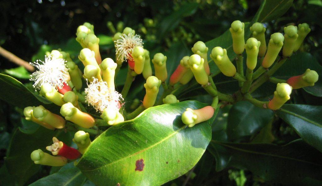 """Syzygium aromaticum"", Cloves, war, history. plant"