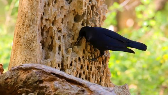 Crows usually only socialize with close family members, but they're willing to branch out when importation information about food is ...
