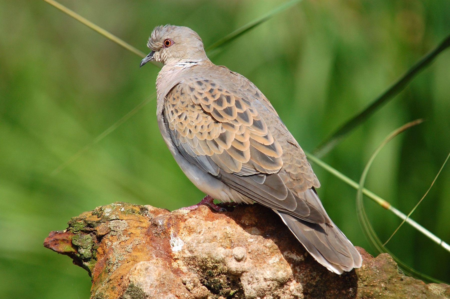 Endangered European Turtle Doves are again hunted in Malta