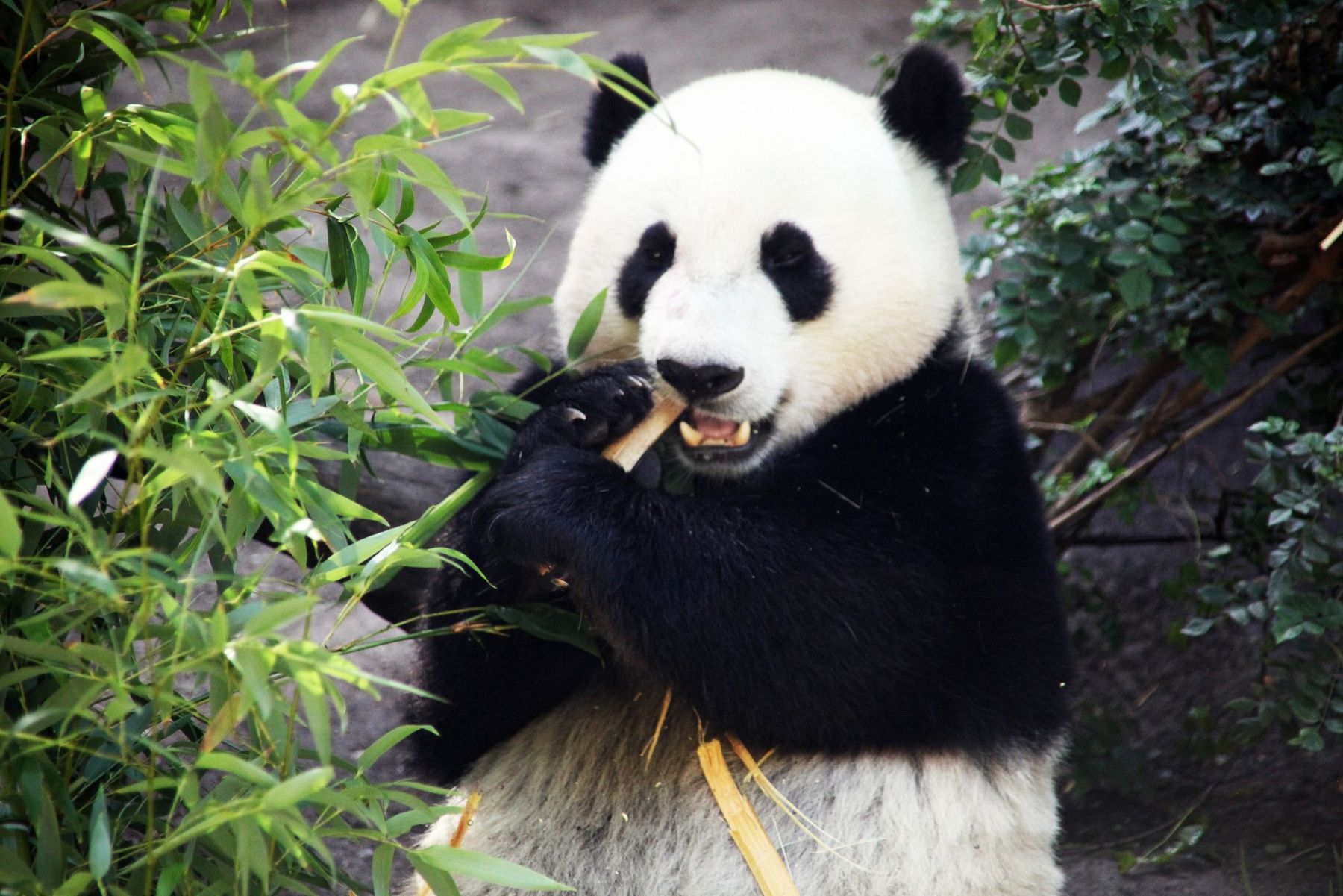 Giant Pandas have carnivorous teeth and a meat eater's digestive system which isn't meant for chewing and digesting tough plants ...
