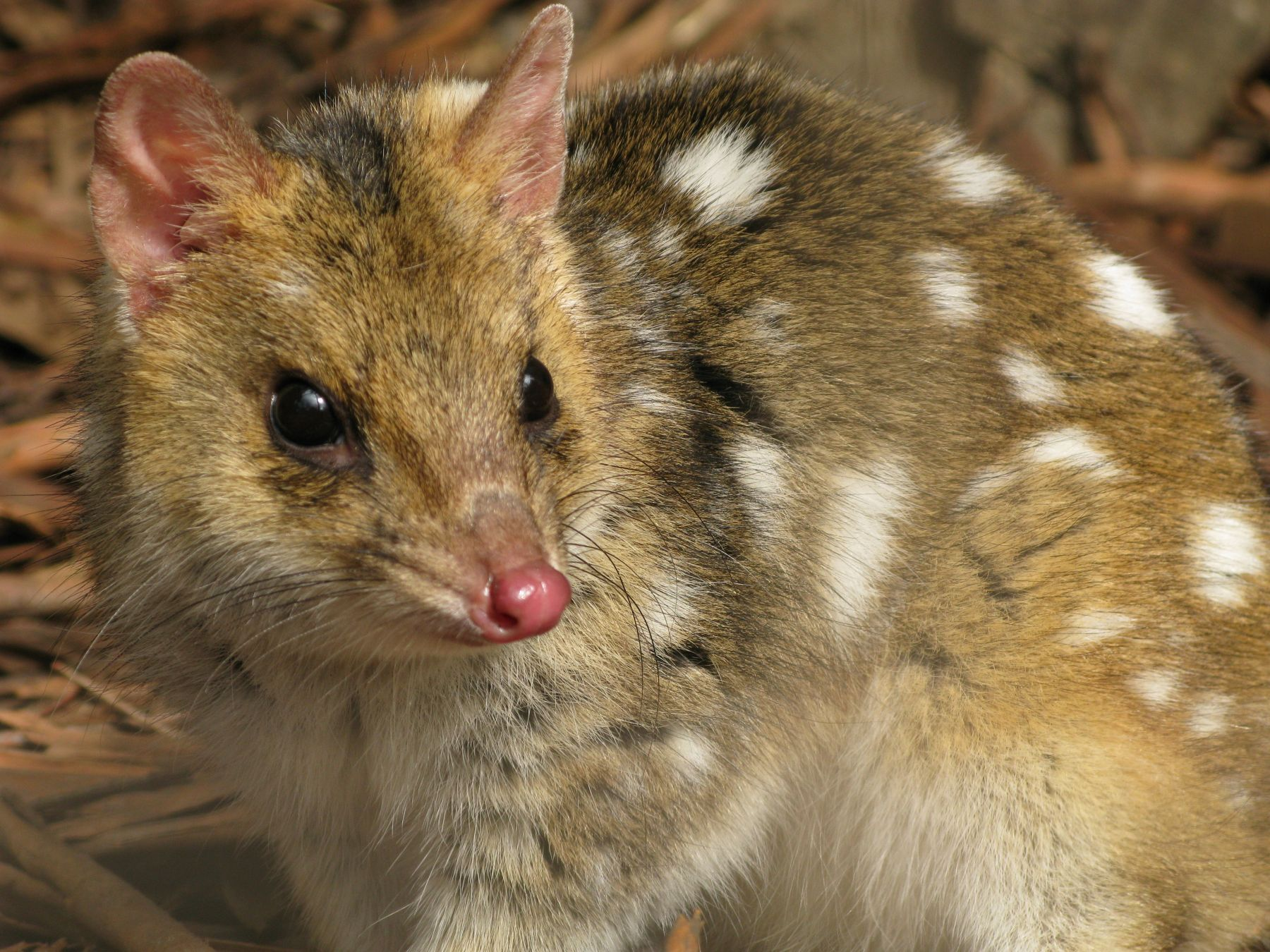 Eastern quolls haven't been seen on the Australian mainland for over half a century. However, thanks to a project that ...