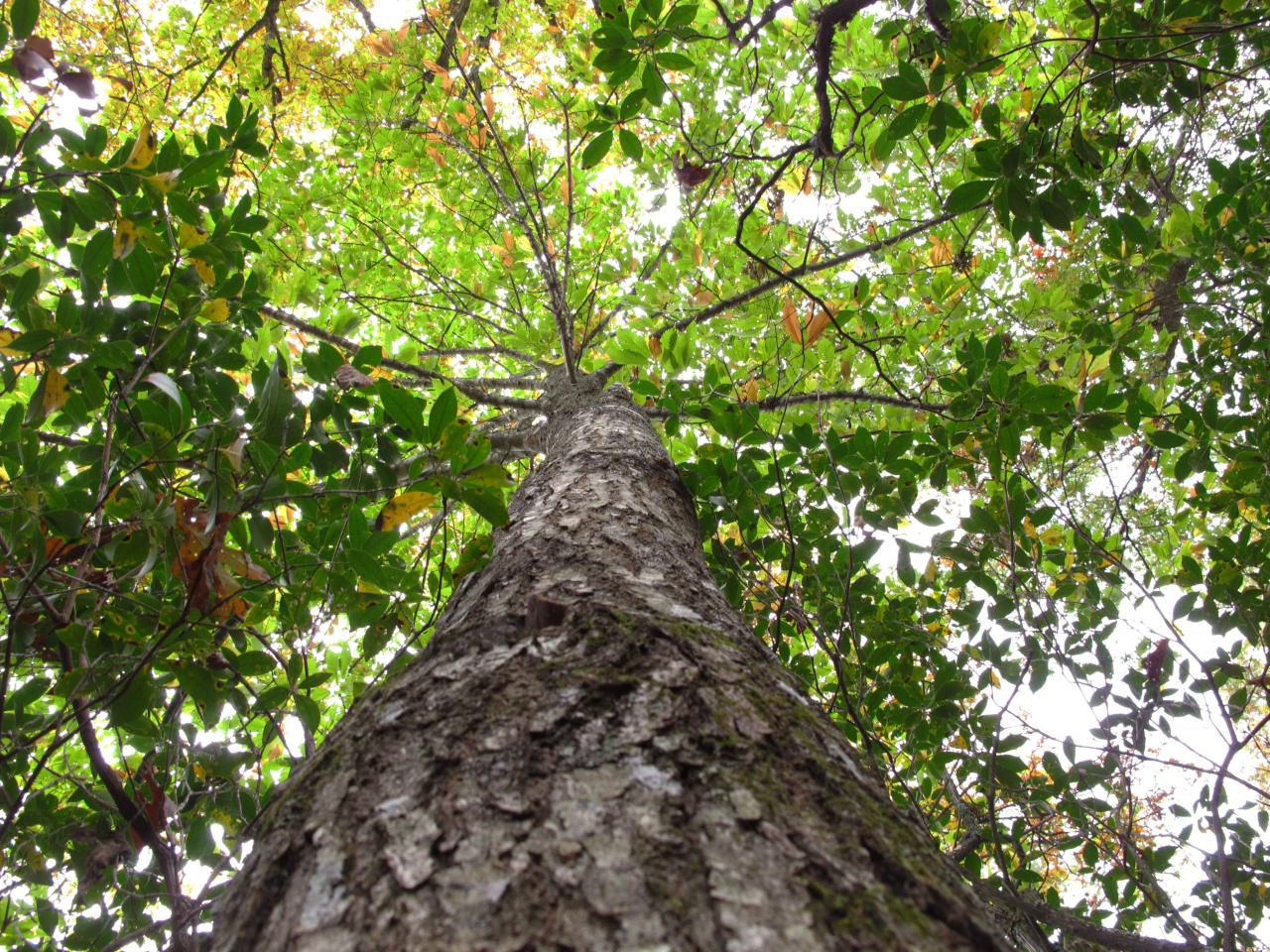 American chestnut trees were once among the most majestic hardwood trees in the eastern deciduous forests, many reaching 80 to ...