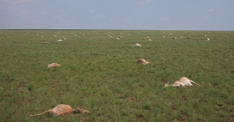 Last year, more than 200,000 Saiga Antelope dropped dead in central Kazakhstan over a matter of days. The landscape was ...