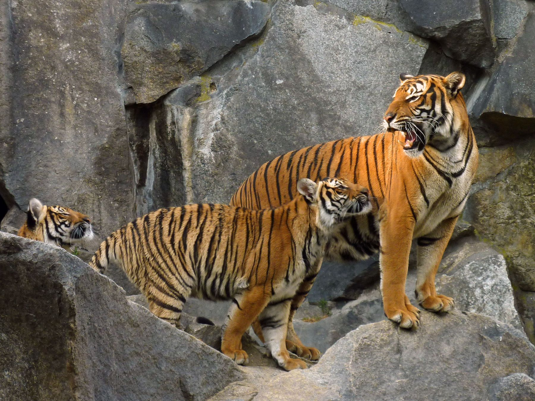 "The majestic wild tigers have not been found in Cambodia since 2007, leading conservationists to declare the animals ""functionally extinct."" ..."