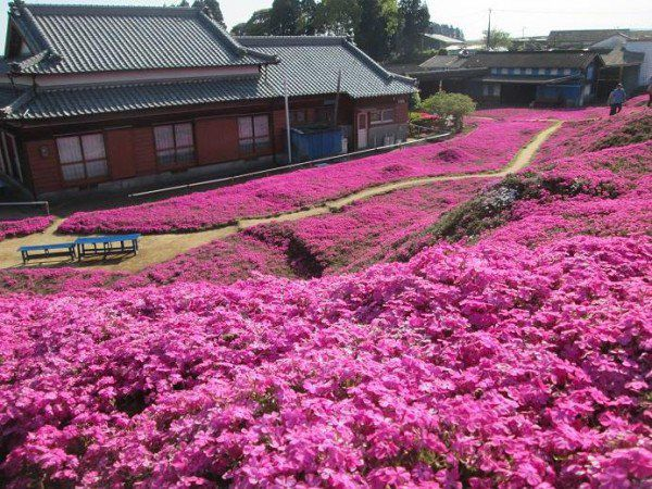 Over 7,000 people visit this beautiful phlox moss garden in Shintomi Town, Japan's Miyazaki Prefecture on any given day in ...