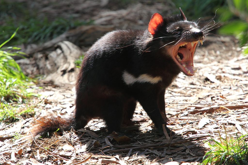 Tasmanian devils are most known for their unique behavior but to many researchers they are extremely fascinating because they are ...