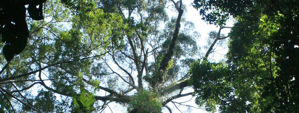 Scientists from the University of Cambridge discovered what they think could be the tallest recorded tropical tree. Found in Malaysia ...