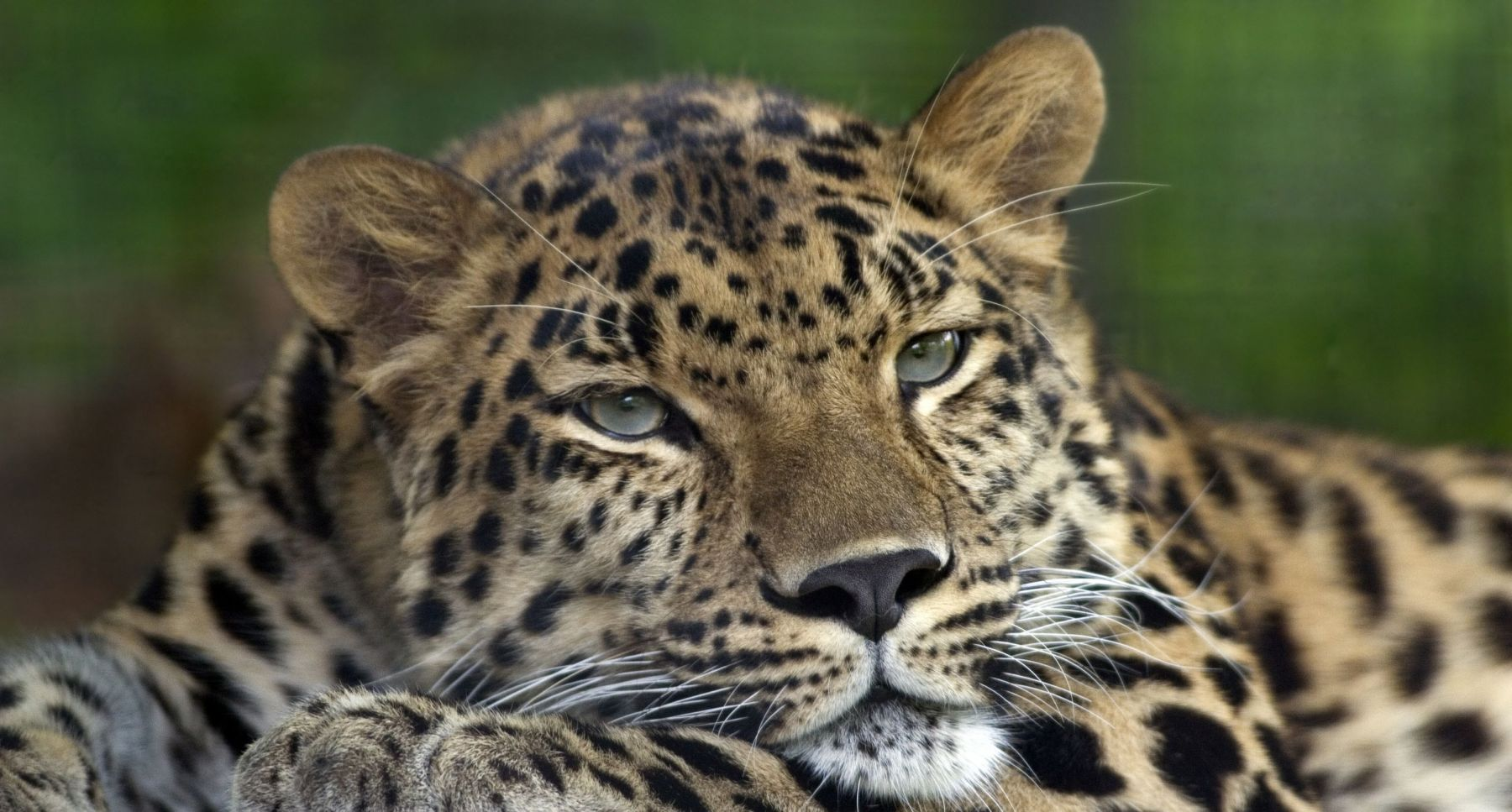 Around the world, big cats are one of the most admired animals but sadly their habitat is shrinking every day ...