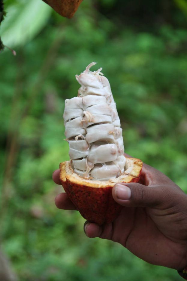 freshly harvested cocoa pod