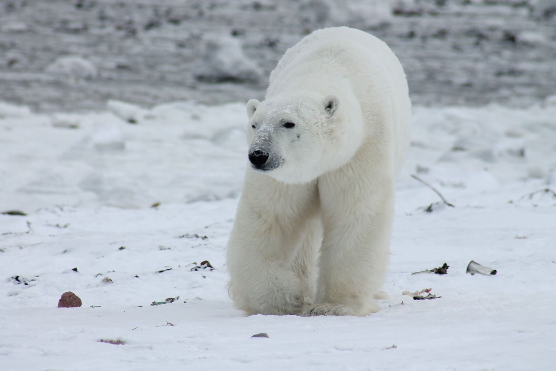 Polar bears have the ability to maintain their body temperatures at over 98 degrees F, even during very cold winter ...