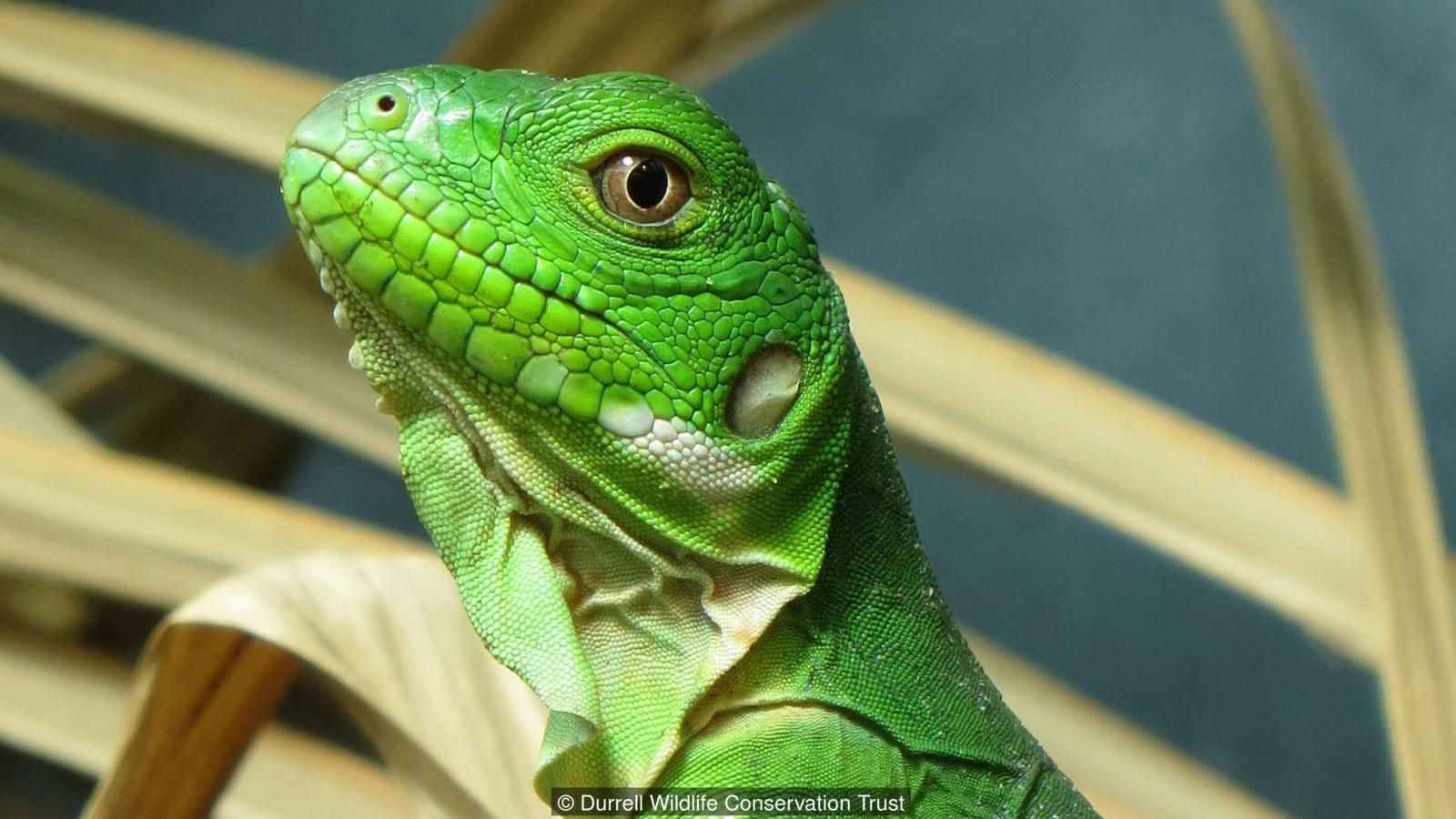 A handful of extremely rare lizards have been bred by scientists. Eleven Lesser Antillean iguanas have hatched at facilities managed ...