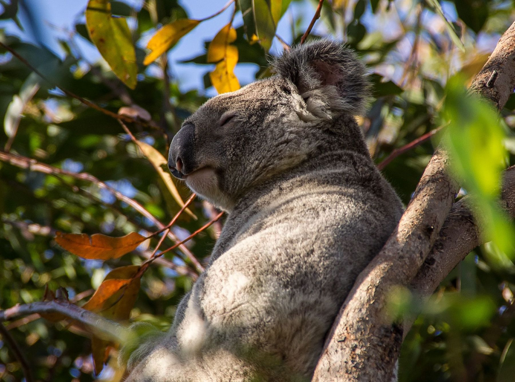 Koalas aren't the most intellectual of animals, but these leaf-loving tree-dwellers may be smarter than we give them credit for. ...