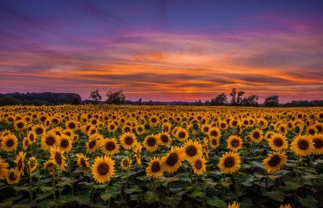Sunflower plants follows the Sun from east to west during the day and then reorient back to the east each ...