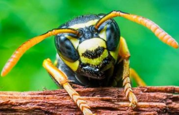 Brazilian wasp venom kills cancer cells, but not healthy cells. This wasp is responsible for producing cancer-targeting toxin called MP1. ...