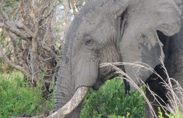 People in stone age scooped out and ate the elephants' brains, but also their trunks, tongues, glands, and even their ...