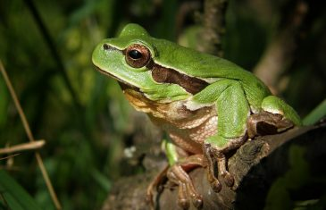Male frogs that reproduced out of the water had smaller testicles than their colleges who had sex in the water.
