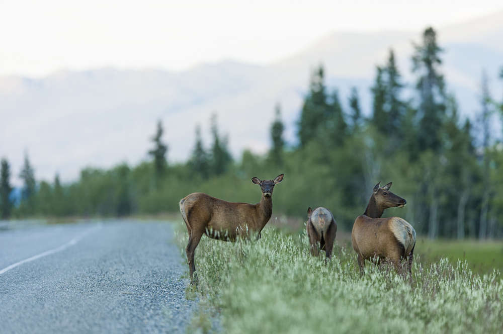 female elks, roads, hunters, season