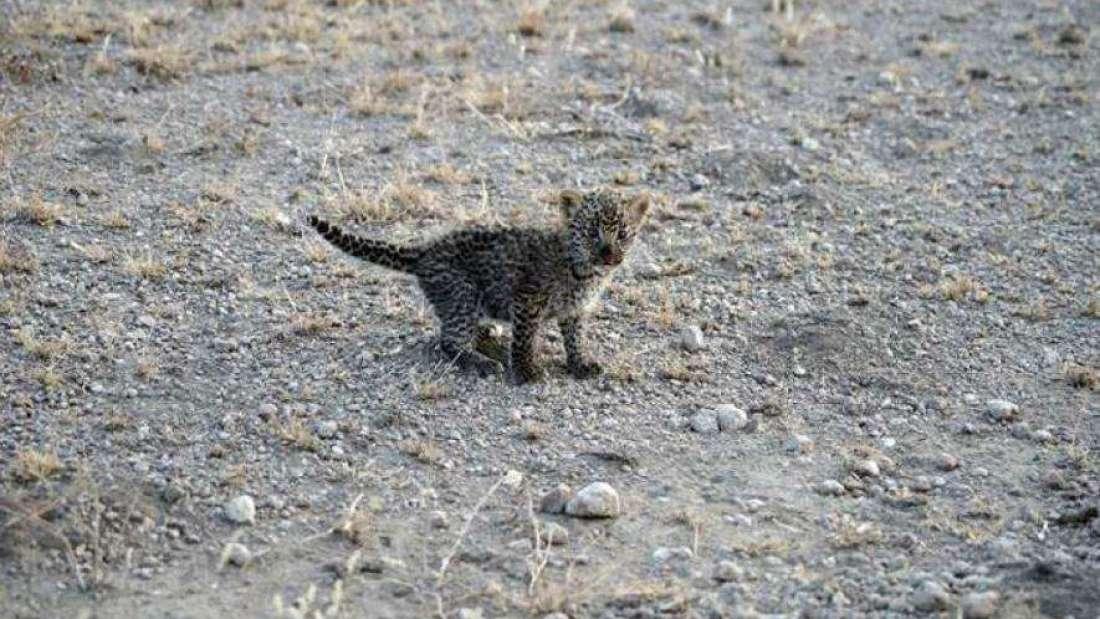 leopard cub, nursing, wildlife, Tanzania