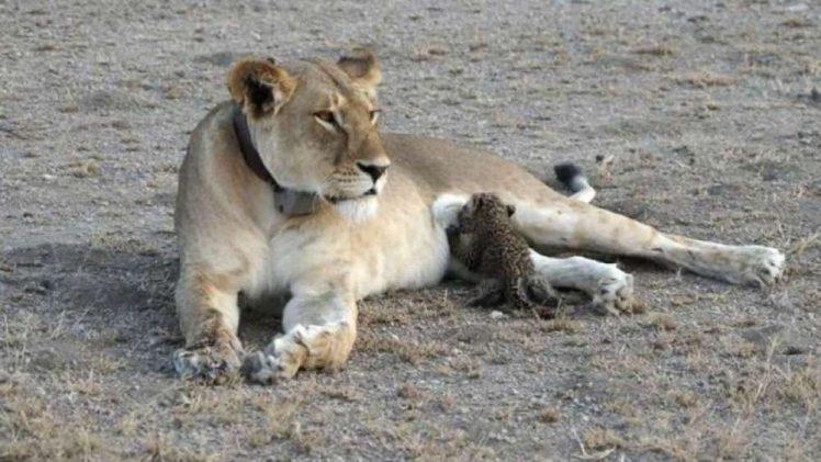 Joop Van Der Linde, a guest atNdutu Safari Lodge took a photo of a 5-year-old lioness feeding a leopard cub ...