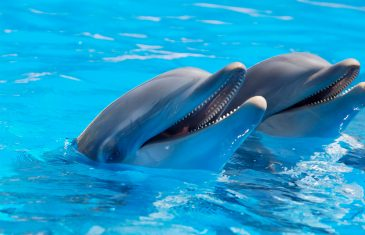 Male dolphins in western Australia were found showing patterns of gay behaviour, and scientists say, that it is a common ...